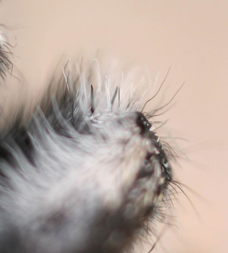 Волоски на ногах пауков являются альтернативой ушам млекопитающих для улавливания звуков из окружающей среды.