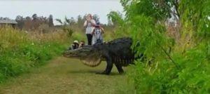 Видео с огромным аллигатором покоряет Интернет